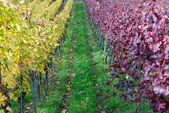 Vineyard rows with red and yellow leaves — Stock Photo