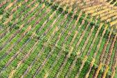 Rows of Vineyard — Stock Photo