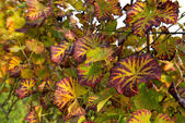Vine Grape Leaves — Stock Photo