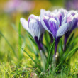 Stock Photo: Crocus Flowers