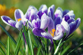 Crocus Flowers — 图库照片