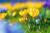 Crocus Flowers — Stock Photo