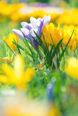 Crocus Flowers — Foto Stock
