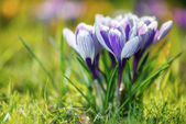 Crocus Flowers — Stockfoto