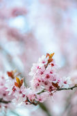 Blooming Tree In Spring — Stock Photo