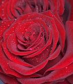 Rer roses — Stock Photo