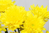 Yellow chrysanthemums — 图库照片