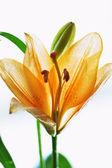 Orange lilly — Stock Photo