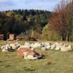 Farmer animals sunbathing in the autumn sun — Stock Photo #13897474