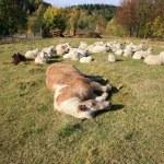 Farmer animals sunbathing in the autumn sun — Stock Photo #13897586