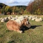 ������, ������: Farmer animals sunbathing in the autumn sun