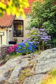 Blue and pink hydrangea on rocks — Stock Photo