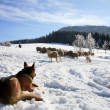German Shepherd guarding herd of sheep — Stock Photo