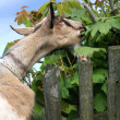 Milky goat gnaw leaves - Stock Photo