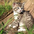 Stock Photo: Small grey striped hair cat
