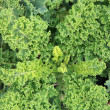 Curly Kale on the patch in the vegetable garden. — Stock Photo