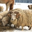 Ram. Winter on the farm. — Stock Photo