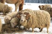 Ram. Winter on the farm. — Stock Photo