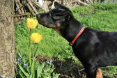 Baeuceron small dog and tulip. — Stock Photo