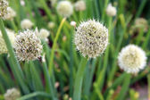 White ball flower chive. — Stock Photo