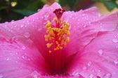 Big pink flower — Stock Photo