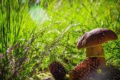 Autumn boletus mushroom fungus forest grass sun light — Stock Photo