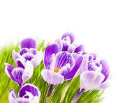 Purple crocus white background — Stock Photo