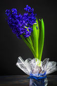 Art vintage background hyacinth black background — Stock Photo