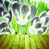 Bahar arka plan çiğdemler ahşap parke — Stok fotoğraf