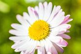 Frühling garten closeup gänseblümchen-blume — Stockfoto