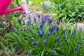 Spring works garden watering plants watering can — Stock fotografie