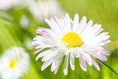 Spring garden closeup daisy flower — Стоковое фото