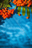 Autumnal background rowan fruits blue wooden board — Stock Photo