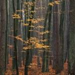 Hornbeam tree in forest. — Stock Photo #16258059
