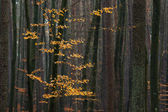 Hornbeam tree in forest. — Stockfoto