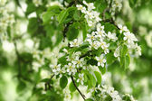 White pear flowers. — Stock Photo