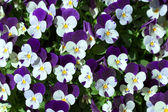 Violet pansy flowers — Stock Photo
