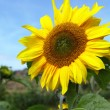 Yellow sunflower — Stock Photo #15334591