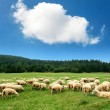 Herd of sheep — Stock Photo #16259019