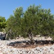 Olive tree — Stock Photo