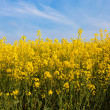 Field of rapeseed, plant for green energy — Stock Photo #19872433