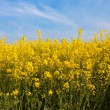 Stock Photo: Field of rapeseed, plant for green energy