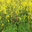 Rape field — Stock Photo #19872523