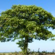 Old oak tree - Stock Photo