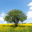 Lone ree in yellow rapeseed field - Stock Photo