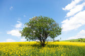 Lone ree in yellow rapeseed field — Stock Photo
