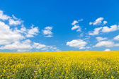 Bright yellow canola or rapeseed field and perfect blue sky — Stock Photo