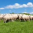 Herd of sheep — Stock Photo #25499713