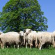 Sheep looking at camera — Stock Photo #25499715