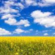 flowering canola or rapeseed field — Stock Photo #25581047